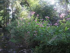 Impatiens - Himalayan balsam (I. glandulifera) invading habitat along a creek in Hesse