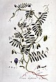 Ervum hirsutum — Flora Batava — Volume v1.jpg