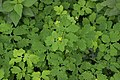Erysiphe macleayae on Greater Celandine - Chelidonium majus (45078995641).jpg