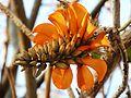 Erythrina caffra, bloeiwyse, a, Pretoria.jpg