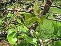 Erythrina speciosa - Jardim Botânico de São Paulo - IMG 0353.jpg