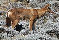 Ethiopian Wolf (16284466506) cropped.jpg