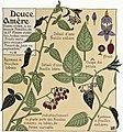 Etude de la plante - p.75 fig.88 - Douce amère.jpg