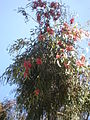 Eucalyptus leucoxylon 1c.JPG