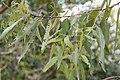 Eucalyptus leucoxylon bellarinensis 4zz.jpg