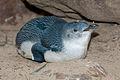 Eudyptula minor -Featherdale Wildlife Park, Doonside, Sydney, Australia-8.jpg