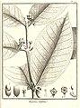 Eugenia latifolia Aublet 1775 pl 199.jpg