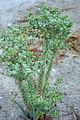 Euphorbia Greece.jpg