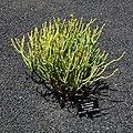 Euphorbia aphylla - Guatiza - Jardín de Cactus - Lanzarote - J28.jpg