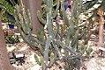 Euphorbia canariensis 1zz.jpg