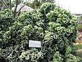 Euphorbia cristata - Parc Exotica.JPG