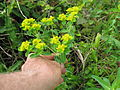 Euphorbia helioscopia flowerhead5 (15365049835).jpg