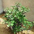 Euphorbia milii 7060122.jpg