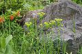 Euphorbia togakusensis var. ozense 02.jpg