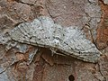 Eupithecia intricata - Freyer's pug - Цветочная пяденица можжевеловая (27073216458).jpg