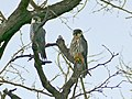 Eurasian Hobbies (Falco subbuteo), Kruger NP, South Africa (15833051584).jpg