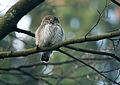 Eurasian Pygmy Owl (Glaucidium passerinum) (16892444200).jpg