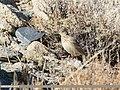 Eurasian Skylark (Alauda arvensis) (40444395200).jpg