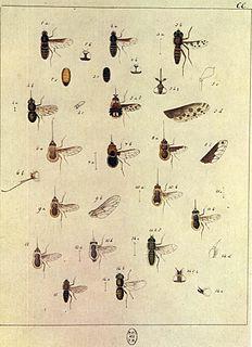 <i>Bombylius canescens</i> Species of fly