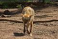 Europäischer Grauwolf (Canis lupus lupus) im Wolfcenter Barme (Dörverden) IMG 9042.jpg