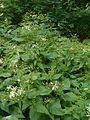 Eurybia divaricata Aster divaricatus BotGardBln07122011B.JPG