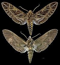 Euryglottis aper MHNT CUT 2010 0 303 Osayacu Napo Ecuador (F.melanique) male.jpg