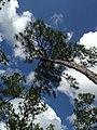 Everglades Pine - panoramio.jpg