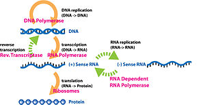Central dogma of molecular biology - Unusual flow of information highlighted in green