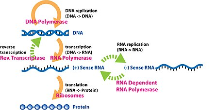 The extended central dogma of molecular biology includes all the cellular processes involved in the flow of genetic information Extended Central Dogma with Enzymes.jpg