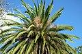 Fénix (Phoenix canariensis) - Flickr - Alejandro Bayer (1).jpg