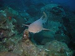 FGBNMS - nurse shark (27551309652).jpg
