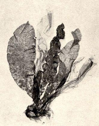 Phycodnaviridae - Member of the Ectocarpales brown algae-Asperococcus bullosus