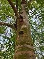 Fagales - Betula pubescens - 2.jpg