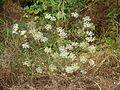 Falcaria vulgaris 040813.jpg