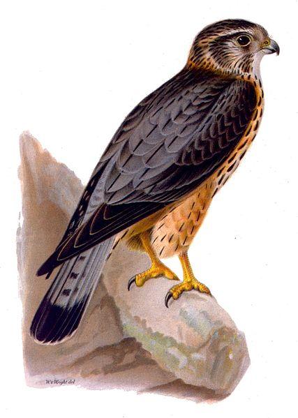 File:Falco aesalon male.jpg