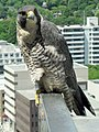 Falco peregrinus -perching on building-8.jpg