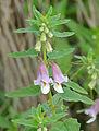 False Sesame (Ceratotheca sesamoides) (16349723077).jpg