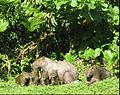 Familia de capivaras.jpg
