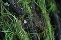 Female Aeshna cyanea laying eggs.JPG