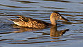 Female Cinnamon Teal (8043588267).jpg