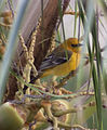 Female Hooded Oriole (4355048216).jpg