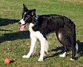 Female border collie.jpg