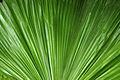 Fern Leaf @ Botanical Gardens (1915110705).jpg