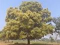 Fertile Mango Tree in Baitari river coast - panoramio.jpg