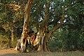 Ficus sycomorus14.jpg
