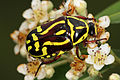 Fiddler beetle nov07.jpg