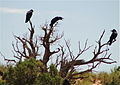 Fighting Ravens Arches National Park Utah USA.JPG