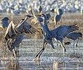 Fighting Sandhill Cranes (262875051).jpeg