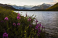 Fireweed Sunset at Lake 2 (21409734360).jpg