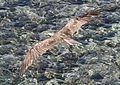 Fischadler im Flug....EgDez2011 193BEWI.jpg